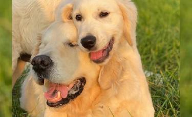 """Illustration : """"Un Golden Retriever aveugle redécouvre la vie grâce à l'amour et au soutien du nouveau chiot de la famille """""""