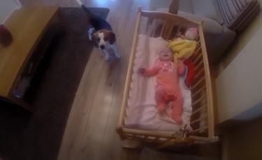 """Illustration : """"Inquiet à l'idée que sa nouvelle petite sœur fasse de mauvais rêves, ce Beagle prend lui-même le temps de l'endormir ! (Vidéo)"""""""
