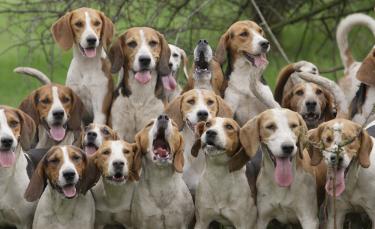 """Illustration : """"La protection des chiens de chasse"""""""