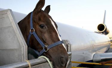 "Illustration : ""Transporter un cheval en avion """