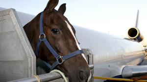 Illustration : Transporter un cheval en avion
