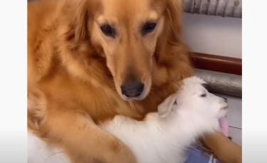 """Illustration : """"Une chienne Golden Retriever devient la maman de substitution d'un chevreau qu'elle nourrit au biberon ! (Vidéo)"""""""