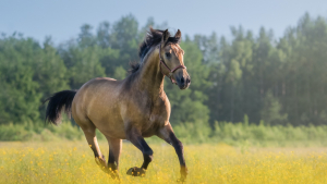 Illustration : La castration du cheval