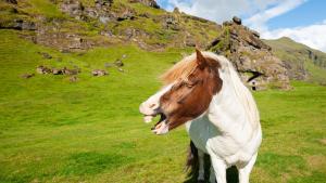 Illustration : Le hennissement chez le cheval
