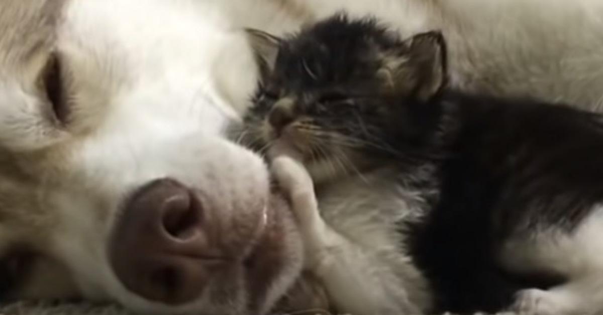 Élevé par un Husky depuis l'âge de deux semaines, cet ancien chaton errant pense et se comporte exactement comme un chien