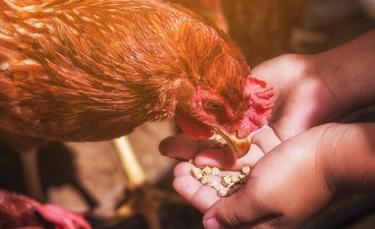"""Illustration : """"Comment nourrir une poule ?"""""""