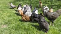 """Illustration : """"La hiérarchie chez les poules"""""""