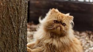 Illustration : Face à l'augmentation de la demande d'adoptions, des chercheurs s'inquiètent des risques encourus par les chats brachycéphales
