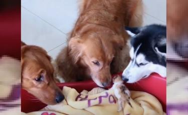 """Illustration : """"La vidéo émouvante de 3 grands chiens qui prennent soin et câlinent des chatons nouveau-nés """""""