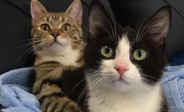 """Illustration : """"Un chaton paralysé et esseulé se lie d'amitié avec un chat à 3 pattes dès son arrivée au refuge  """""""