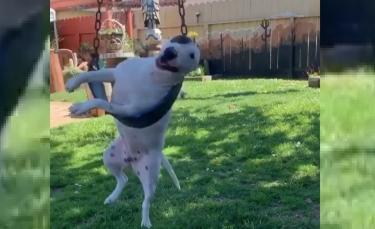 """Illustration : """"Un chien hilarant surpris en train de jouer avec une balançoire (vidéo)"""""""