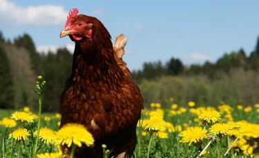 """Illustration : """"Les plantes toxiques pour les poules"""""""