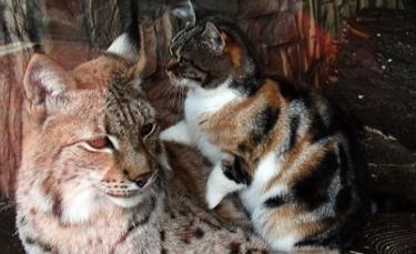 """Illustration : """"Un chat errant s'introduit dans un zoo et se lie d'amitié avec un lynx (vidéo)"""""""