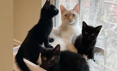 """Illustration : """"Un chat de famille recueille et prend sous son aile 3 chatons retrouvés dans une ruelle """""""