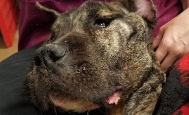 """Illustration : """"Des vétérinaires se battent pour garder en vie un chien retrouvé sur un parking, affamé et en état d'hypothermie"""""""
