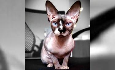 """Illustration : """"Un chat Sphynx sert de thérapie et réconforte les enfants ayant subi des traumatismes"""""""