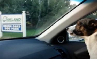 """Illustration : """"Un petit chien manifeste sa joie immense dès qu'il s'approche d'un parc canin (vidéo)"""""""