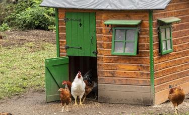 """Illustration : """"Choisir un poulailler pour 6, 7 ou 8 poules"""""""