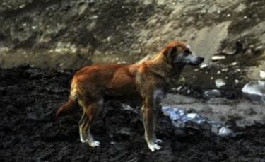 """Illustration : """"L'image poignante d'une chienne qui pleure chaque jour la perte de ses chiots après l'explosion d'un glacier en Himalaya"""""""