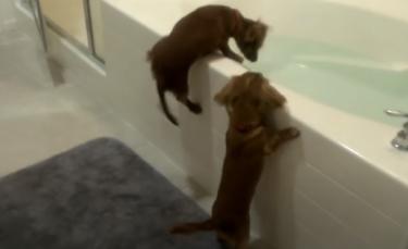 """Illustration : """"La vidéo de 2 mini Teckels surexcités à l'idée de prendre un bain a fait près de 20 millions de vues """""""
