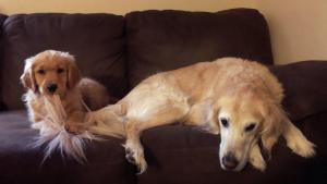 Illustration : 10 images hilarantes de chiens perplexes devant les bêtises de leurs frères ou soeurs