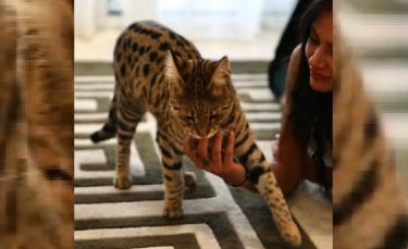 """Illustration : """"L'influenceuse Alix pleure la disparition de son chat Savannah et appelle à l'aide pour le retrouver ! (vidéo)"""""""