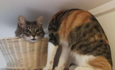"""Illustration : """"L'illusion d'optique d'un chat sans cou qui interroge"""""""