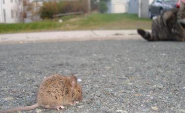 """Illustration : """"Un rat vole le traceur GPS d'un chat et entraîne son propriétaire dans une course-poursuite au coeur des égouts"""""""