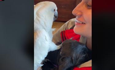 """Illustration : """"Un Perroquet domestique dit « Je t'aime » au nouveau chiot de la famille, qu'il rencontre pour la première fois ! (Vidéo)"""""""