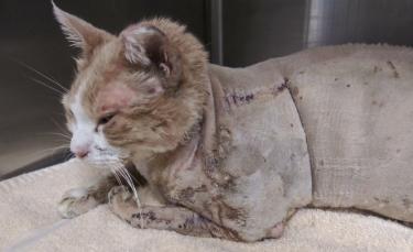 """Illustration : """"Après un terrible incendie qui a ravagé sa maison, une femme lance un appel à l'aide pour sauver son chat gravement blessé"""""""