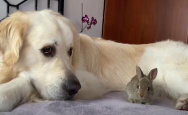 """Illustration : """"Un Golden Retriever adopte les petits d'une lapine sauvée par son propriétaire (vidéo)"""""""