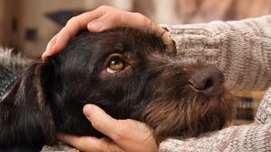 """Illustration : """"L'euthanasie du chien"""""""