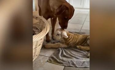 """Illustration : """"Un Labrador noue une tendre amitié avec un agneau sauvé par sa propriétaire (vidéo)"""""""