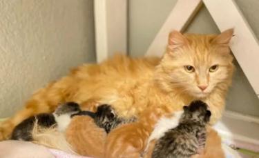 """Illustration : """"Une chatte errante est recueillie par une famille pour mettre bas, elle finit par adopter 2 nouveaux chatons abandonnés (vidéo)"""""""