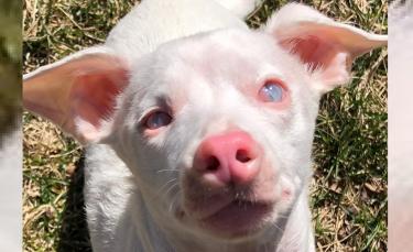"""Illustration : """"Sourd et aveugle, ce chien rose star des réseaux sociaux est une source d'inspiration pour tous"""""""