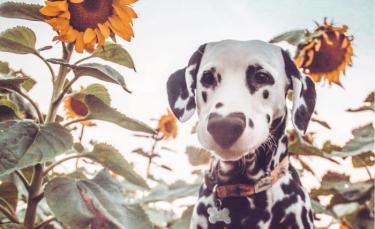 """Illustration : """"20 photos adorables d'un Dalmatien qui a le cœur sur le nez !"""""""