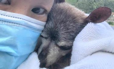 """Illustration : """"Un chien réconforté dans ses derniers moments de vie par des bénévoles alors qu'il venait d'être abandonné, car"""