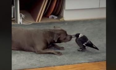 """Illustration : """"Une chienne noue une amitié exceptionnelle avec une pie blessée, recueillie par ses propriétaires (vidéo)"""""""