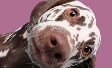 """Illustration : """"17 magnifiques portraits de chiens attentifs à leur propriétaire"""""""