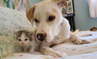 """Illustration : """"Une chienne bienveillante apporte son aide à un chaton maigre et sans force recueilli par sa propriétaire"""""""