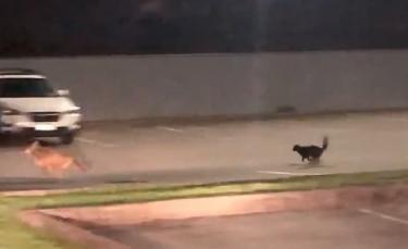 """Illustration : """"La vidéo surprenante d'un chat intrépide chassant un coyote d'un parking"""""""
