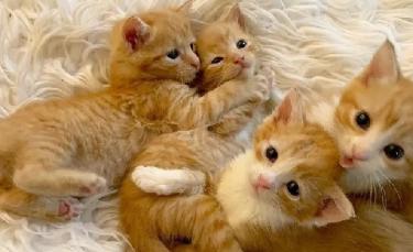 """Illustration : """"4 chatons retrouvés en mauvaise santé ne veulent plus se quitter et tentent de survivre ensemble"""""""