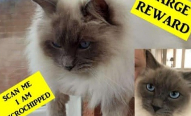 """Illustration : """"Un chat Ragdoll volé chez ses maîtres, retrouvé un an plus tard sans sa puce d'identification"""""""