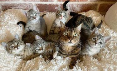 """Illustration : """"Un chat bienveillant prend sous son aile tous les chatons que sa mère adoptive recueille (vidéo)"""""""