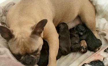 """Illustration : """"Une chienne donnant naissance à ses chiots retrouvée par la police plusieurs semaines après son enlèvement"""""""