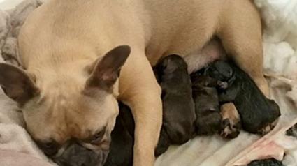 Illustration : Une chienne donnant naissance à ses chiots retrouvée par la police plusieurs semaines après son enlèvement