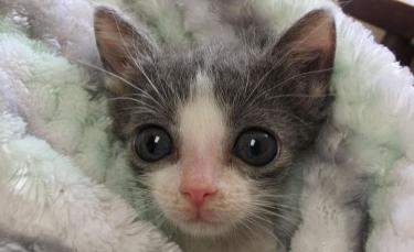 """Illustration : """"Le combat quotidien d'un chaton souffrant d'une déformation de la poitrine pour vivre normalement"""""""
