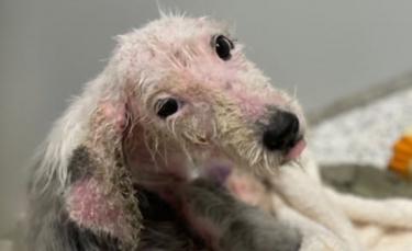 """Illustration : """"Cette chienne retrouvée triste et galeuse se bat pour rester en vie et espère trouver une nouvelle famille"""""""