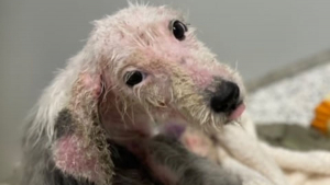 Illustration : Cette chienne retrouvée triste et galeuse se bat pour rester en vie et espère trouver une nouvelle famille