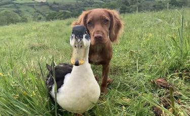 """Illustration : """"L'adorable vidéo d'une chienne et d'un canard devenus les meilleurs amis du monde"""""""